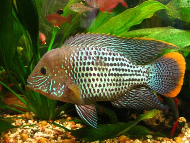 аквариумная рыбка родом из южной америки акара бирюзовая или зеленый террор
