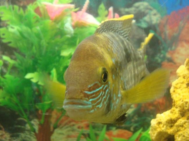 рыбка семейства цихловых родом из южной америки бирюзовая акара плавает в аквариуме