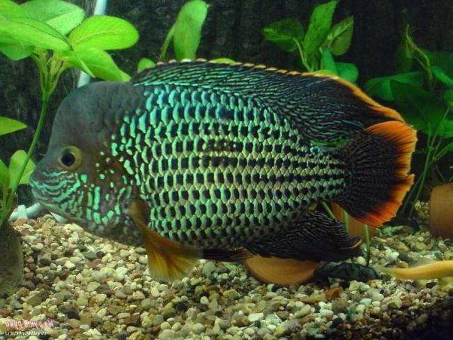 аквариумная рыбка родом из южной америки бирюзовая акара
