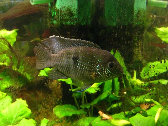 южно-американская рыба акара бирюзовая или зеленый террор плавает в аквариуме