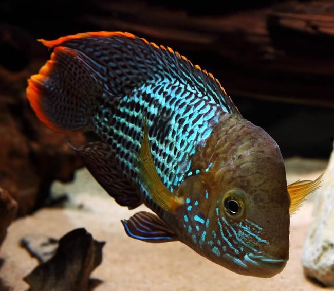 рыба акара бирюзовая или зеленый террор в аквариуме