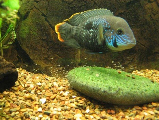 южно-американская цихлида бирюзовая акара или зеленый террор в аквариуме