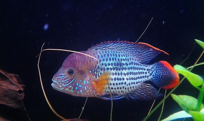 аквариумная рыбка акара бирюзовая или зеленый террор