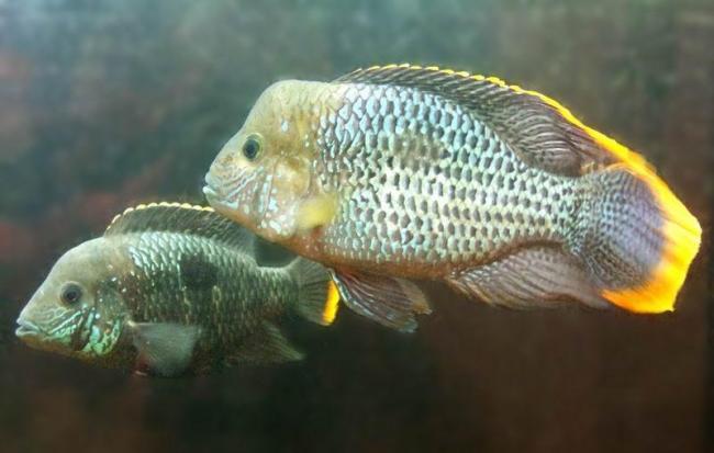 аквариумные рыбки бирюзовые акары
