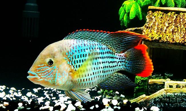 цихлида бирюзовая акара плавает в аквариуме