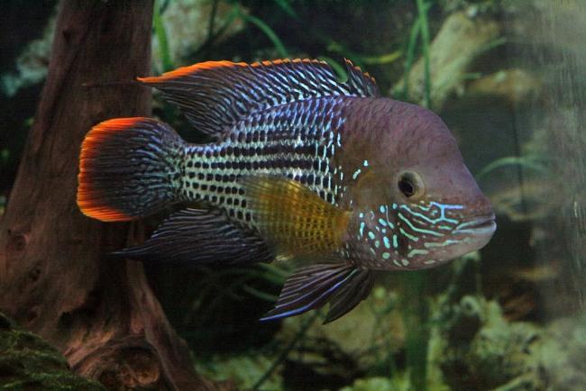 цихлида акара бирюзовая или зеленый террор плавает в аквариуме