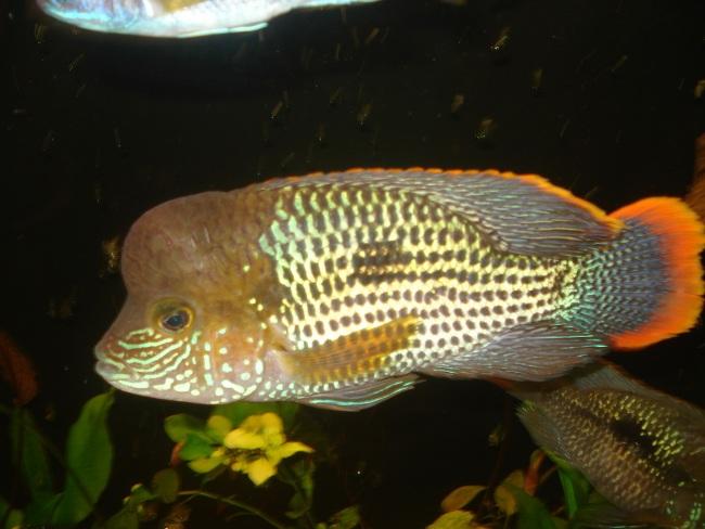 южно-американская рыбка акара бирюзовая или зеленый террор плавает в аквариуме