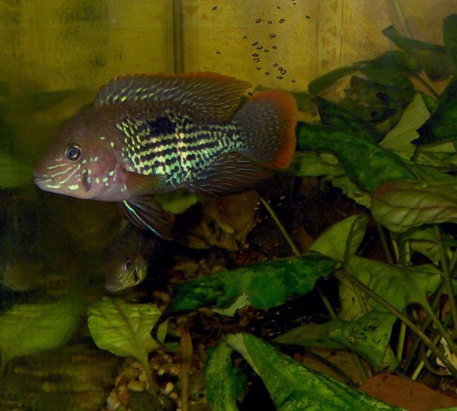 рыба бирюзовая акара плавает в аквариуме