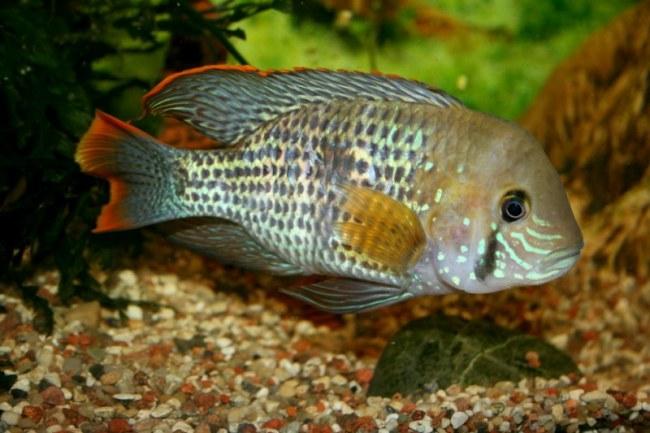 южно-американская рыба акара бирюзовая или зеленый террор в аквариуме