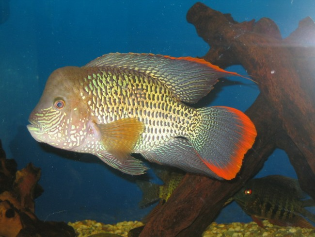 рыба акара бирюзовая или зеленый террор плавает в аквариуме