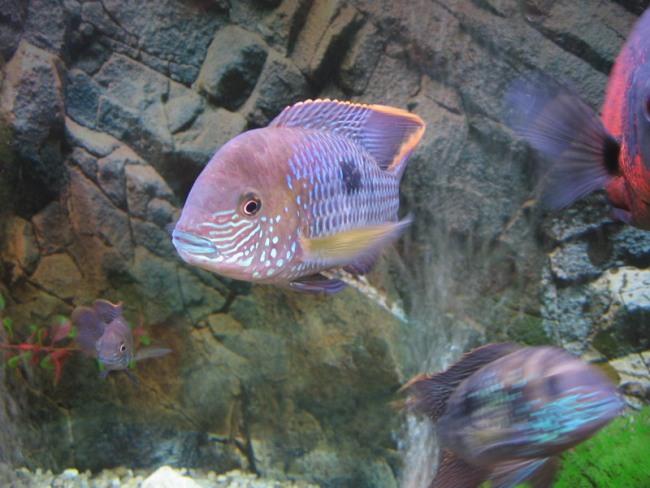 южно-американская рыба бирюзовая акара в аквариуме