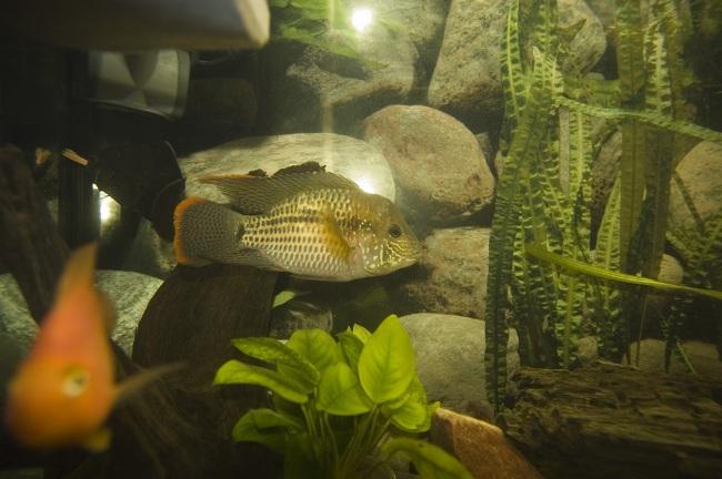 рыбка семейства цихловых бирюзовая акара или зеленый террор плавает в аквариуме