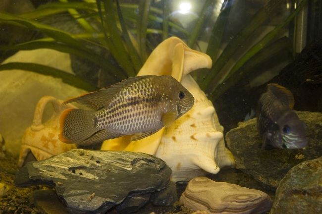 южно-американская рыбка бирюзовая акара в аквариуме