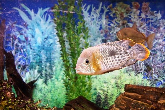южно-американская рыбка бирюзовая акара
