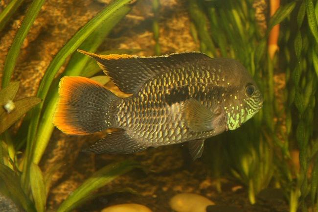 рыбка бирюзовая акара плавает в аквариуме