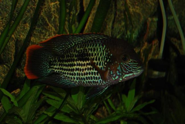 рыба семейства цихловых родом из южной америки акара бирюзовая или зеленый террор
