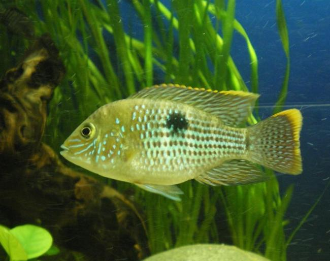 рыбка семейства цихловых акара бирюзовая в аквариуме на фоне растений