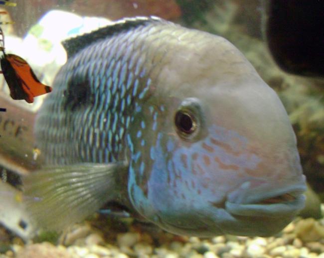 рыба бирюзовая акара