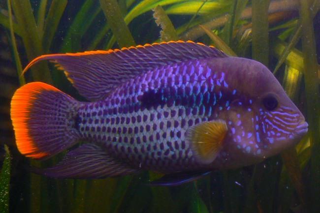 рыбка семейства цихловых бирюзовая акара или зеленый террор