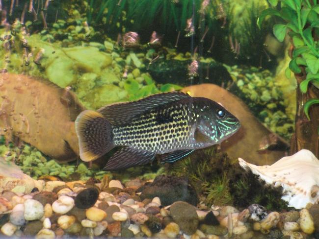 рыбка акара бирюзовая или зеленый террор плавает в аквариуме
