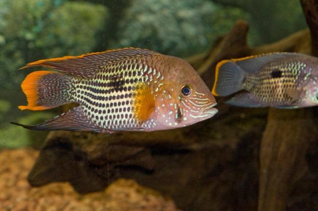 южно-американские рыбки бирюзовые акары в аквариуме