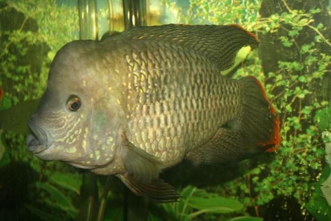 рыбка родом из южной америки акара бирюзовая или зеленый террор