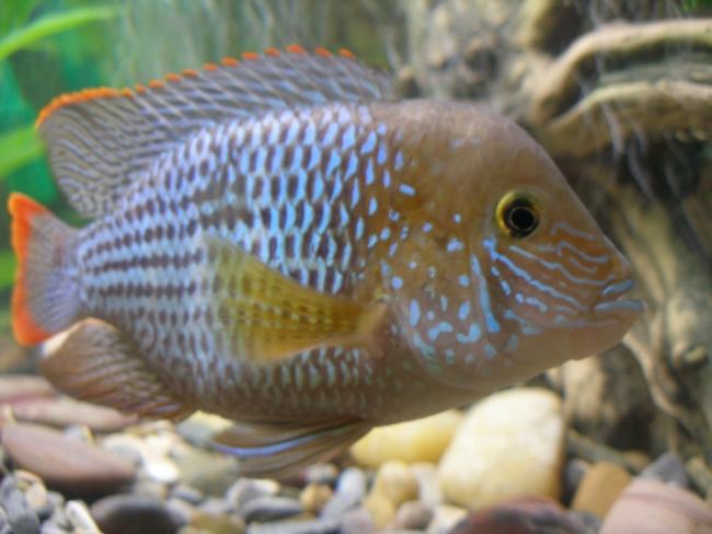 цихлида родом из южной америки акара бирюзовая или зеленый террор плавает в аквариуме