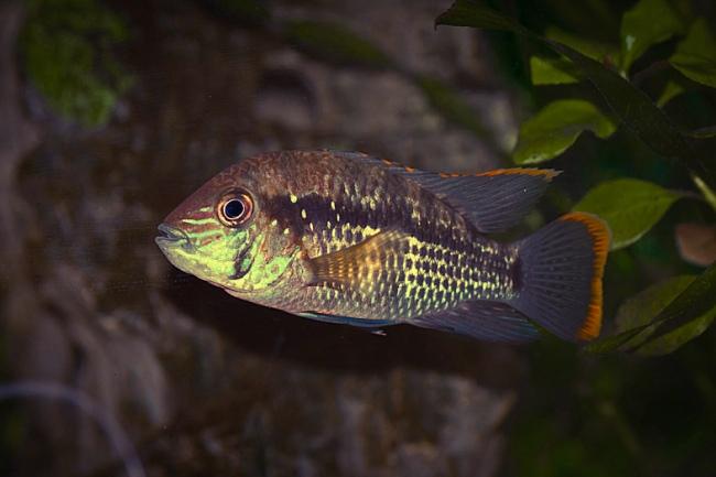 рыба родом из южной америки бирюзовая акара в аквариуме