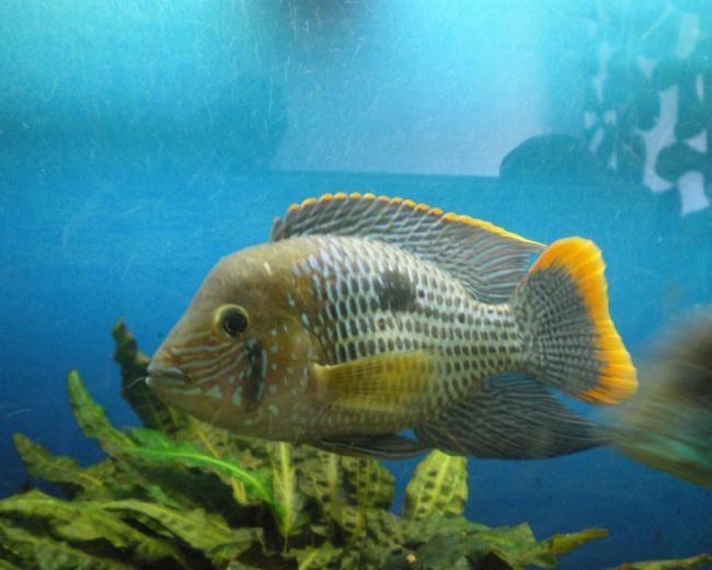 рыбка бирюзовая акара