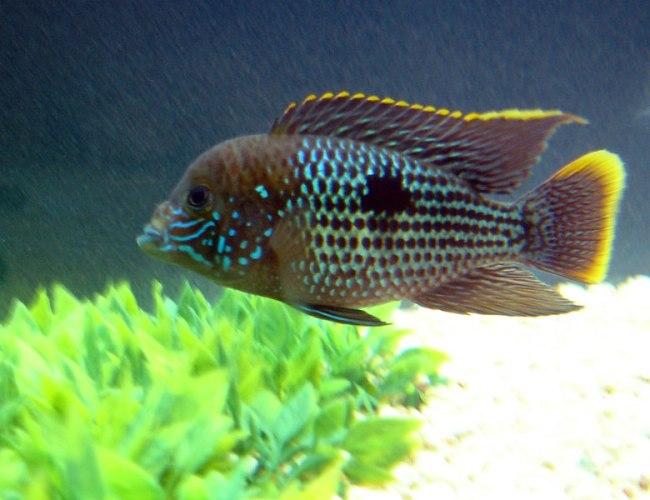 рыбка семейства цихловых акара бирюзовая или зеленый террор плавает в аквариуме
