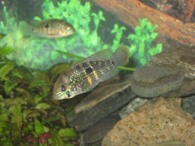 южно-американская аквариумная рыбка акара бирюзовая или зеленый террор