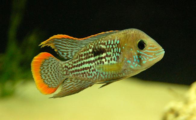 рыбка бирюзовая акара или зеленый террор