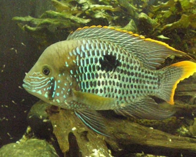 рыба родом из южной америки бирюзовая акара или зеленый террор плавает в аквариуме