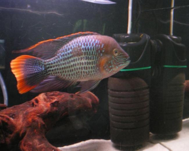 рыба семейства цихловых родом из южной америки акара бирюзовая плавает в аквариуме