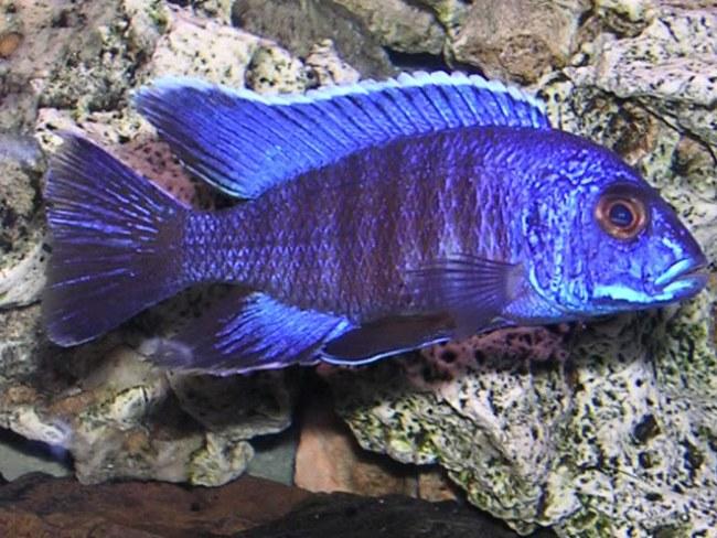 аквариумная рыбка королева ньяса