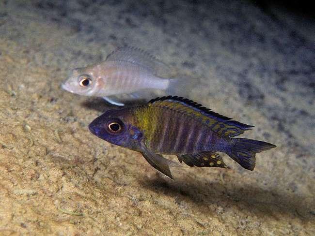 африканская рыбка королева ньяса или аулонокара ньяса в аквариуме