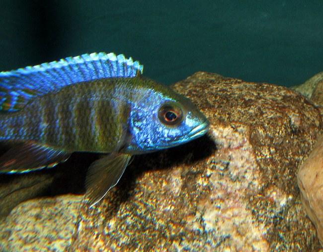 аквариумная рыбка родом из африки королева ньяса