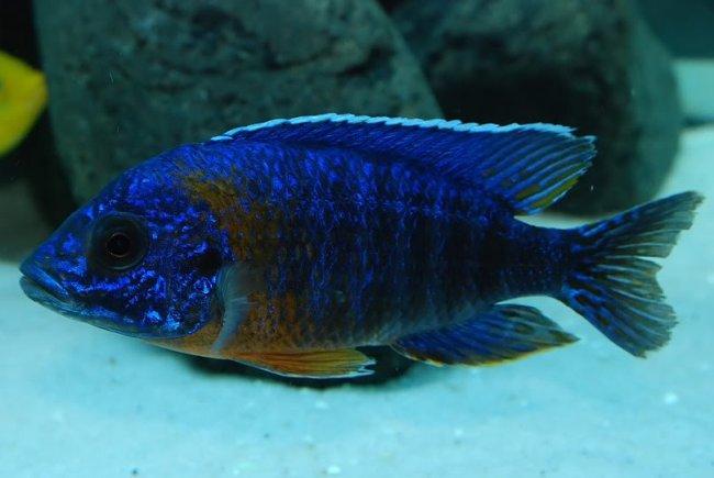 рыбка родом из африки королева ньяса