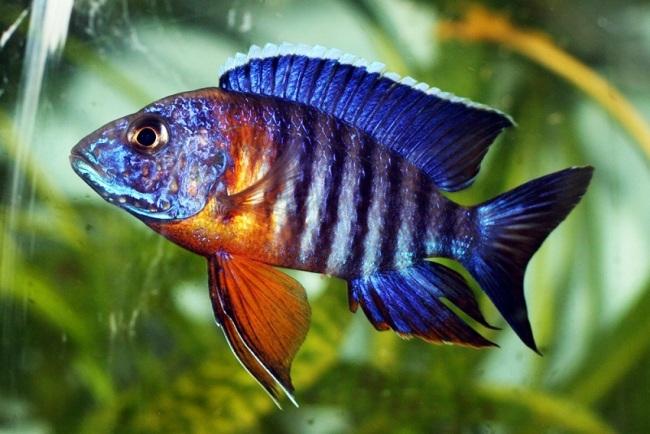 аквариумная рыбка королева ньяса или аулонокара ньяса