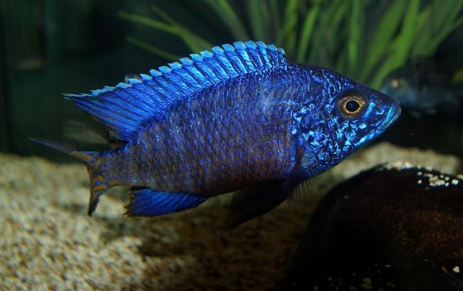 цихлида родом из африки королева ньяса или аулонокара ньяса плавает в аквариуме