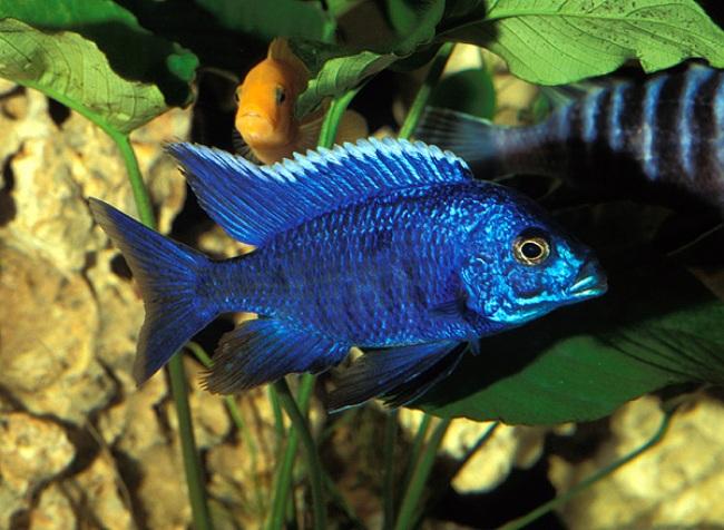 рыбка родом из африки королева ньяса или аулонокара ньяса плавает в аквариуме