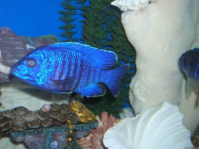 африканская цихлида королева ньяса или аулонокара ньяса в аквариуме