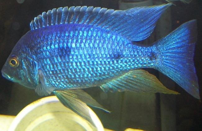 аквариумная рыбка родом из африки королева ньяса или аулонокара ньяса