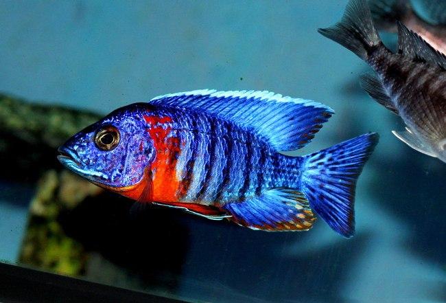 африканская рыбка королева ньяса или аулонокара ньяса