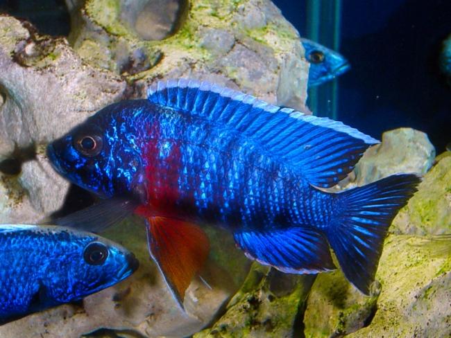 рыбка родом из африки королева ньяса или аулонокара ньяса в аквариуме