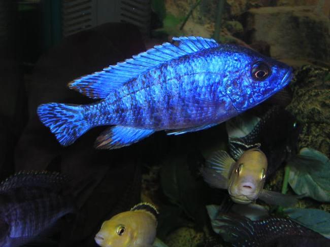 цихлида королева ньяса или аулонокара ньяса в аквариуме