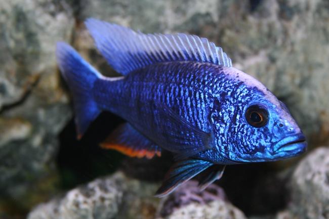 рыбка королева ньяса или аулонокара ньяса