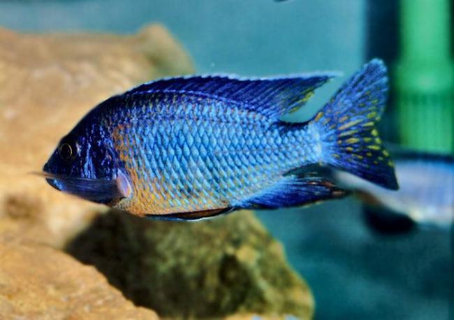 рыбка родом из африки королева ньяса или аулонокара ньяса