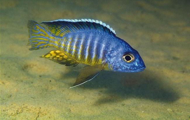 цихлида королева ньяса или аулонокара ньяса плавает в аквариуме