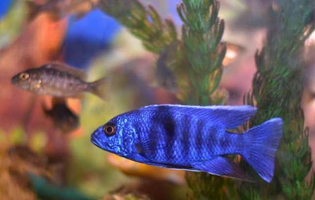 рыбка королева ньяса или аулонокара ньяса в аквариуме